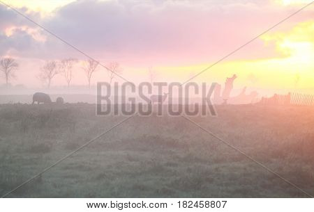 sheep on pasture at sunrise in Holland