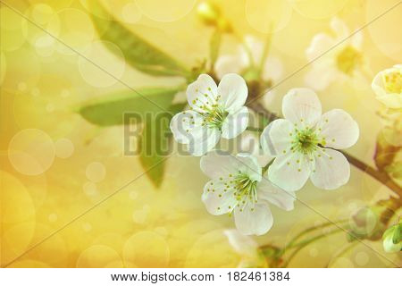 Spring border or background art with White cherry blossom.Beautiful nature scene with blooming tree. Spring flowers.Abstract blurred background with bokeh .Springtime.Blooming cherry.Selected focus.