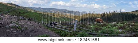 Herd of cows grazing in the enclosed pasture on the farm in the Ukrainian Carpathians.