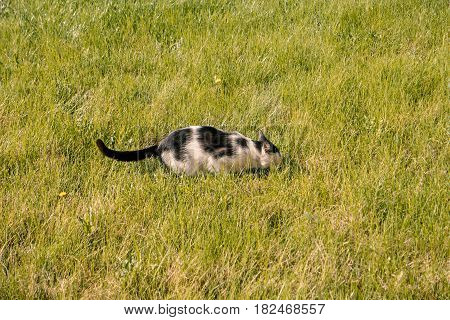 Hunting cat hiding in grass, homeless cat in wild need for adoption