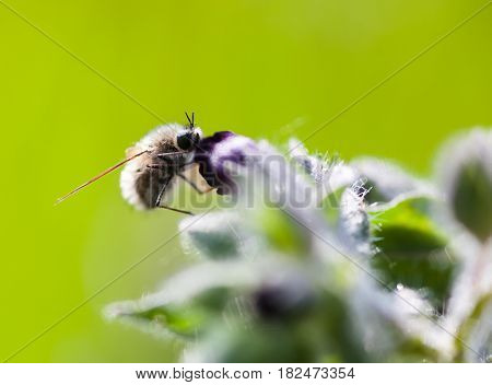 Bumble bee pollinating the purple flower. Close-up.