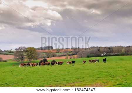 Cows In A Field On A Farm Pasture