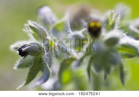 Dark purple nonea (monkswort nonea rossica) flowers. Grayish-green hairy stems leaves and buds. Close-up.