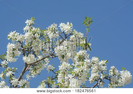 New spring shoot of branch and new spring leaves in the midst of white tree blossoms