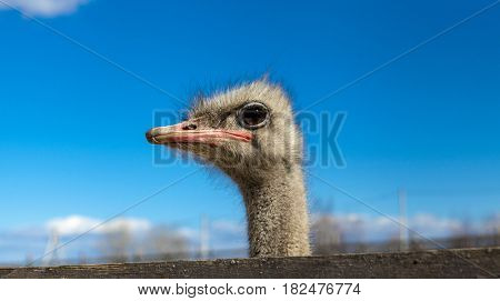 The African ostrich head closeup on blue sky background. Ostriches on the farm.