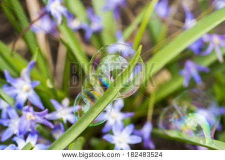 Three delicate and colorful soap bubbles clinging to a blade of grass purple flowers in the background