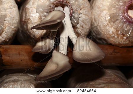 Bhutan Oyster Mushroom cultivation : the cultivation of Bhutan Oyster Mushrooms from spawn in farm. Selective focus.