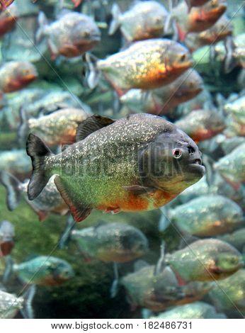 Red bellied piranhas swimming underwater close up image