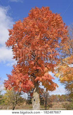 Sugar Maple in the Fall near Baraboo Wisconsin