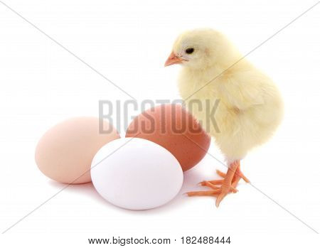Cute chick and eggs isolated on white background.