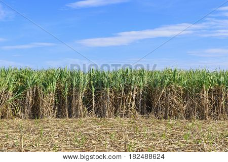 The sugarcane fields with the blue sky