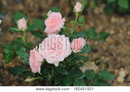 rose bouquet flowerat garden with nature 2017