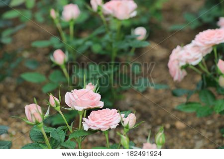 rose bouquet flowerat garden with nature 2017