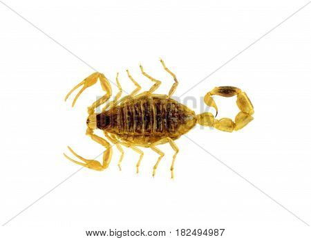 Scorpion isolated on white background close up image