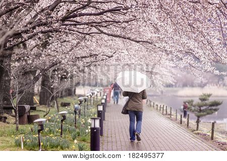 Tourism walking on transparent umbrella on Cherry Blossom Path at Lake Kawaguchi Japan