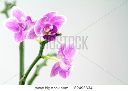Pink orchid,on white background , close up image