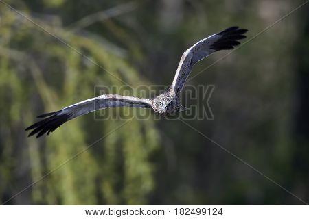 Western marsh harrier in flight seen from the front