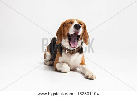 Beagle puppy yawning in front of white background