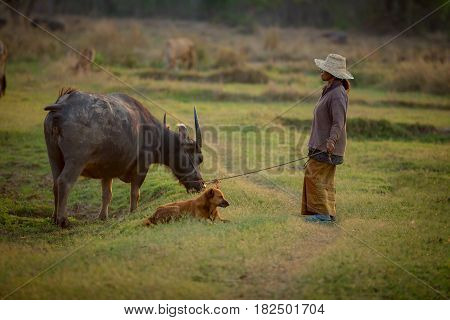 Thai farmers are raising buffalo in the field.Thailand buffalo farmers are in the middle of the field.