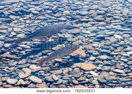 Two fresh water carp swimming in shallow pond with crystal clear water in South Korea.