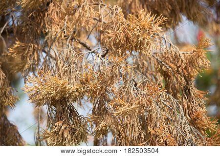 Brown Leaf Of Die Pine Tree