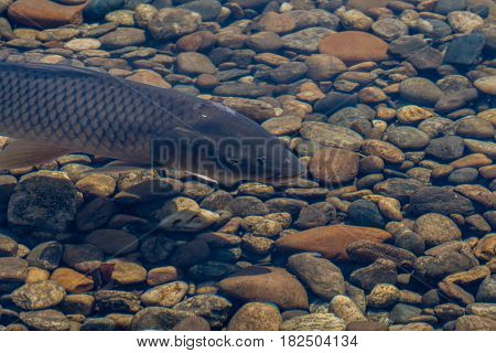 Fresh water carp swimming in shallow pond with crystal clear water in South Korea.