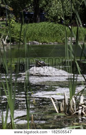 Vertical of a large turtle on a rock in the middle of a small lake in the Nature Park, Laval, Quebec on a sunny day in June.