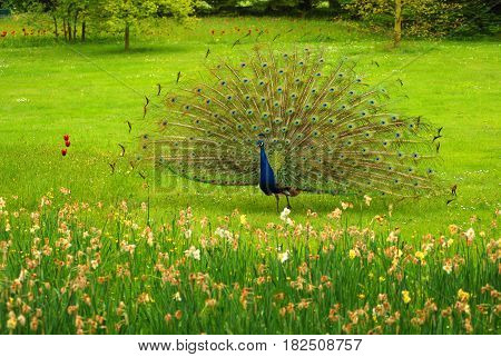 Indian peafowl or peacock (Pavo cristatus) is a large and nicely colored birds. The species is native to South Asia, but nowadays introduced in many other countries.
