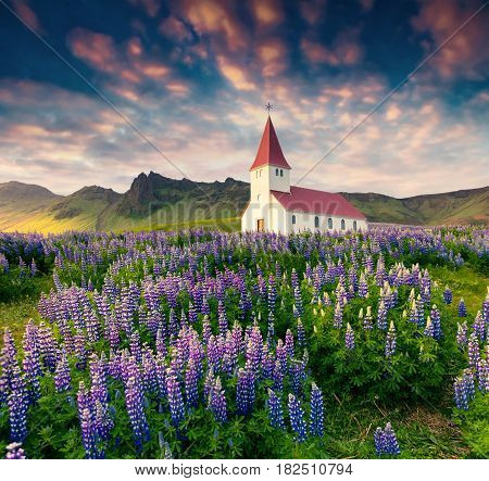 Small church surrounded blooming lupin flowers in the Vik village. Colorful summer sunrise in the Iceland Europe. Artistic style post processed photo.