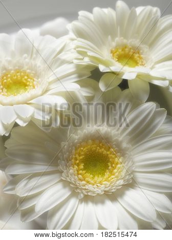 Close up of gerbera flowers
