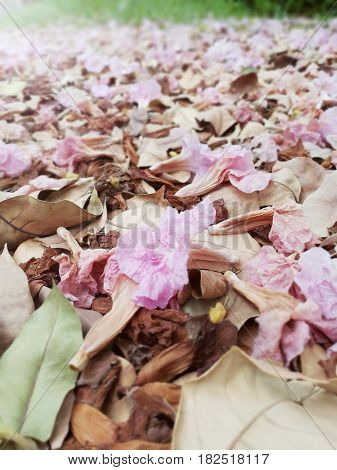 Close up picture of wilted pink trumpet flowers on the ground
