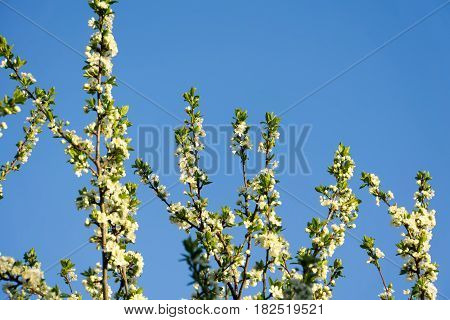 Spring White Blooming Trees