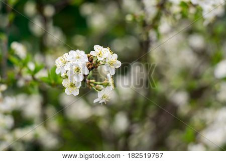 White Cherry Blooming Trees