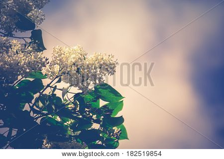 White Lilac Spring Flowers Retro