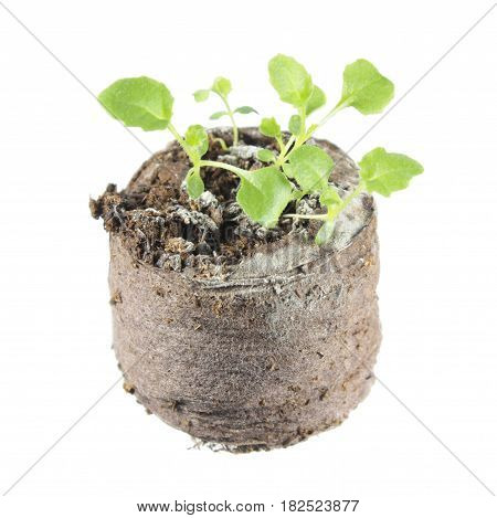 Seedling of ring bellflower (Symphyandra pendula) in clod of soil isolated on white background