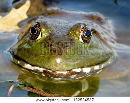 American bullfrog. Frog in a lake closeup. (Lithobates catesbeianus or Rana catesbeiana)