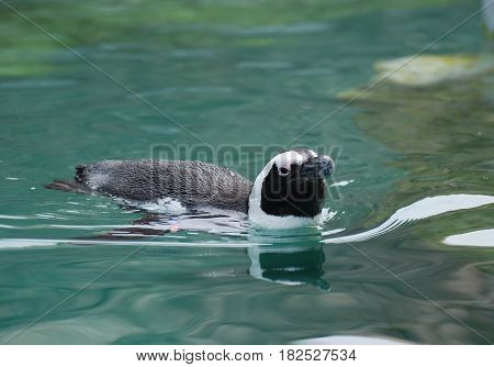 Cute swimming African penguin swimming in water.