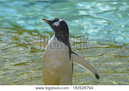 Gentoo penguins gently shaking water off his feathers.