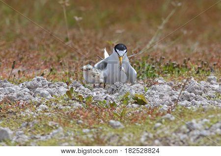 Little tern Sternula albifrons Feeding Baby Birds
