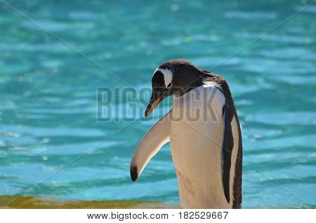 Gentoo penguin standing with his head down near water.