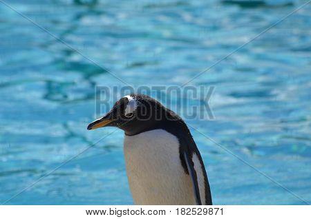 A close-up look at a gentoo penguin.