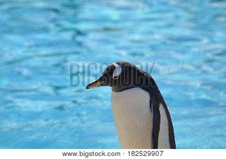 Great capture of a gentoo penguin standing in front of a body of water.