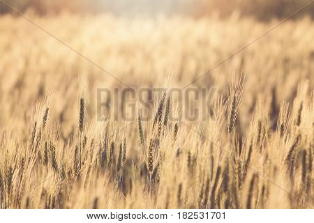 Beautiful Landscape Of Barley Field At Sunset Time