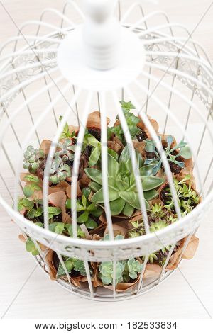 White birdcage decoration with mini succulent plants