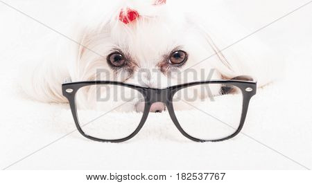 Close up of bichon frise wearing reading glasses and looking at the camera