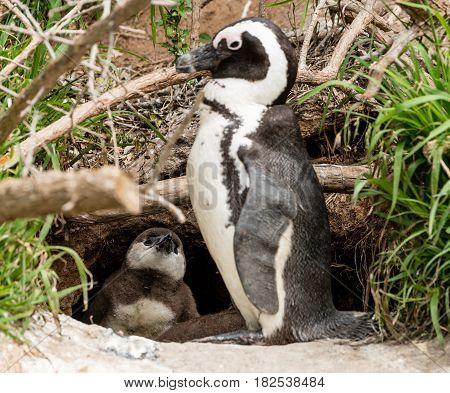 African Penguins (lat. Spheniscus Demersus) in front of a nest at Boulders Beach in Simonstown in South Africa