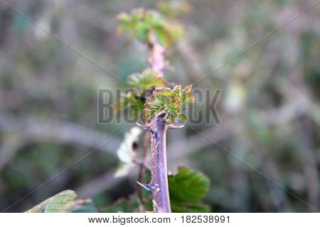 Close up of Sprouts of blackberry in the autumn on blurred background