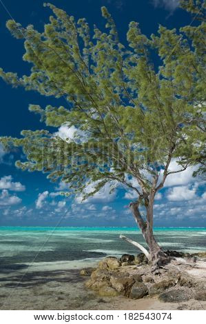 Single tropical tree on the Caribbean seafront at Rum Point in Cayman Islands