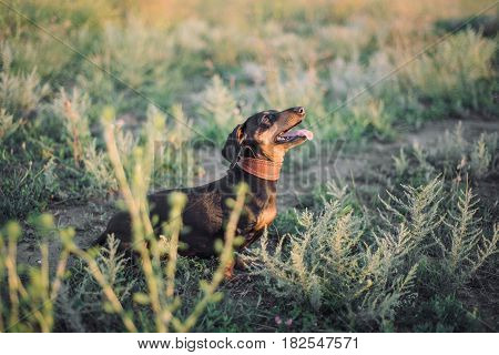 Curious black dachshund waiting for the command. Walking the dog outdoors in a wild field