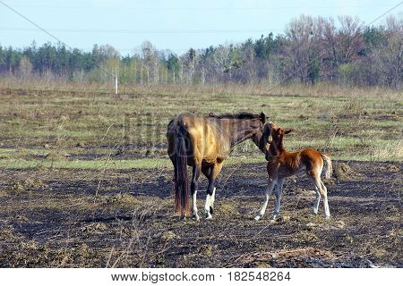 A colt and a horse on a burnt field